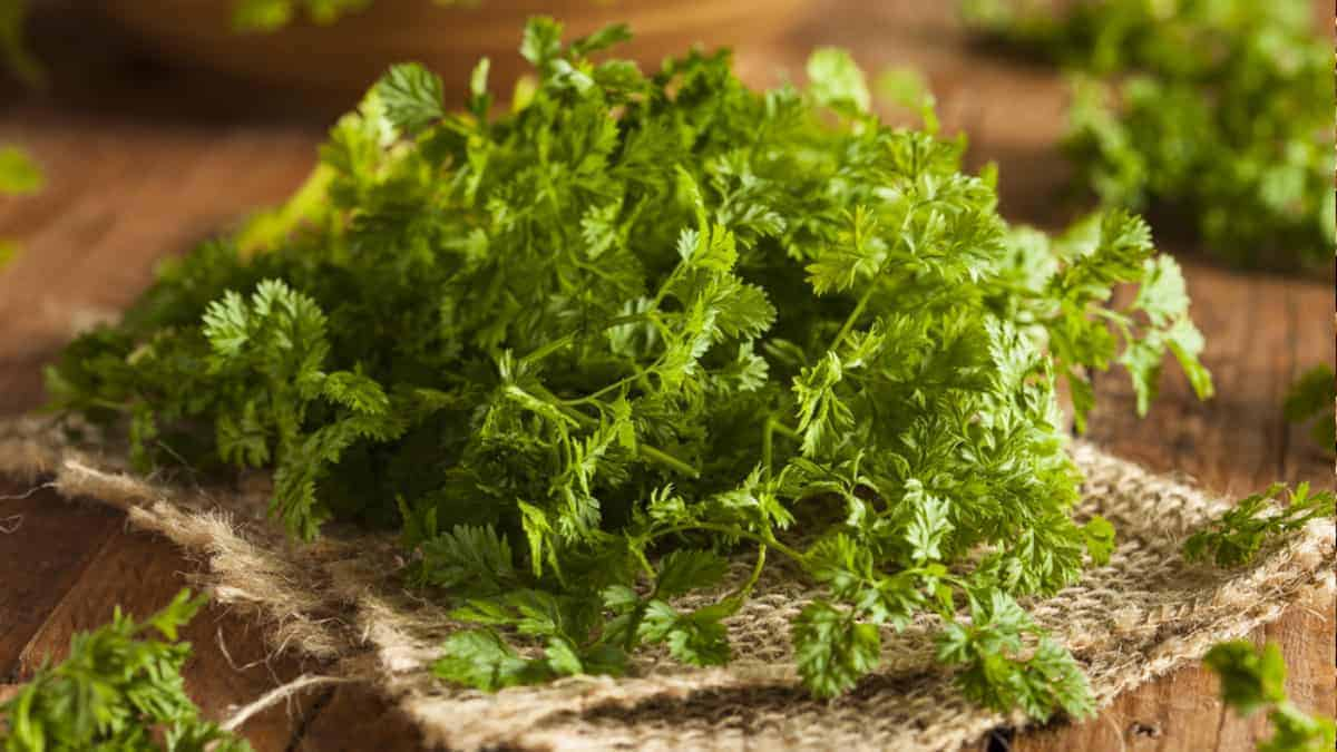 What is Chervil Herb?