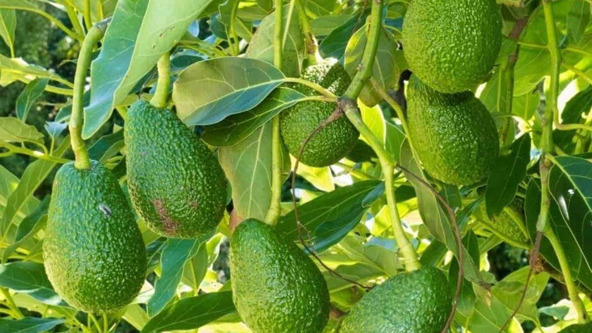 What is Avocado Leaf?
