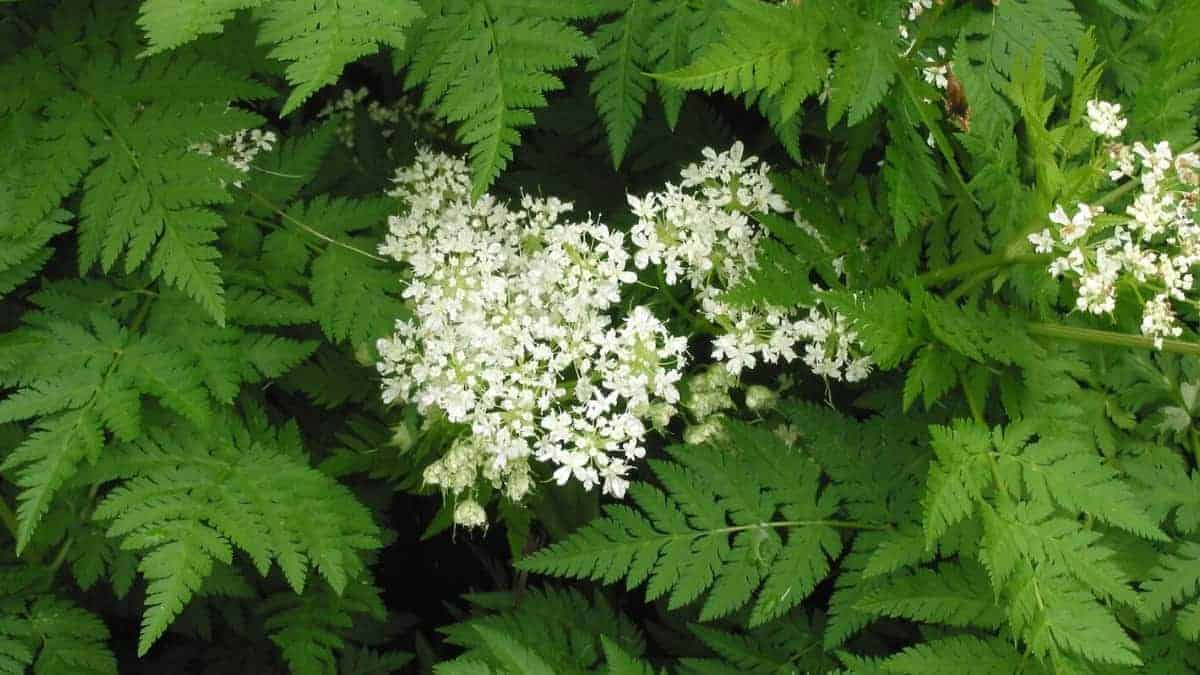 What is Cicely Herb?