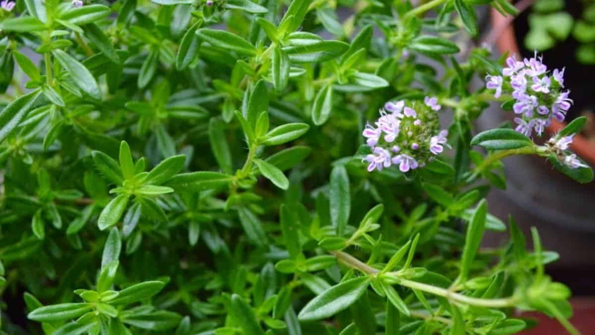 What is Summer Savory Herb?